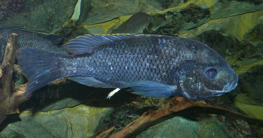 1200px-Oreochromis_squamipinnis.jpg