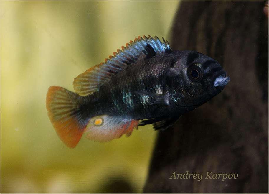 Neochromis rufocaudalis2 Male F1 4sm.jpg