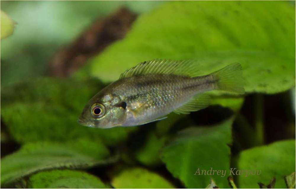 Neochromis rufocaudalis Female F1 3.5sm.jpg