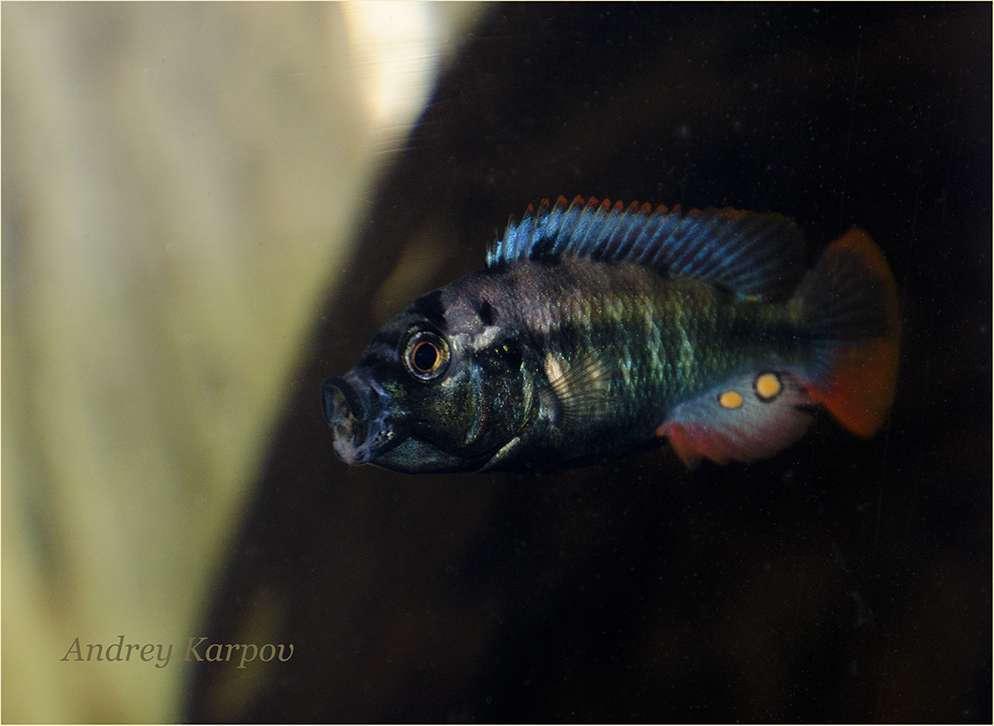 Neochromis rufocaudalis Male F1 4sm.jpg