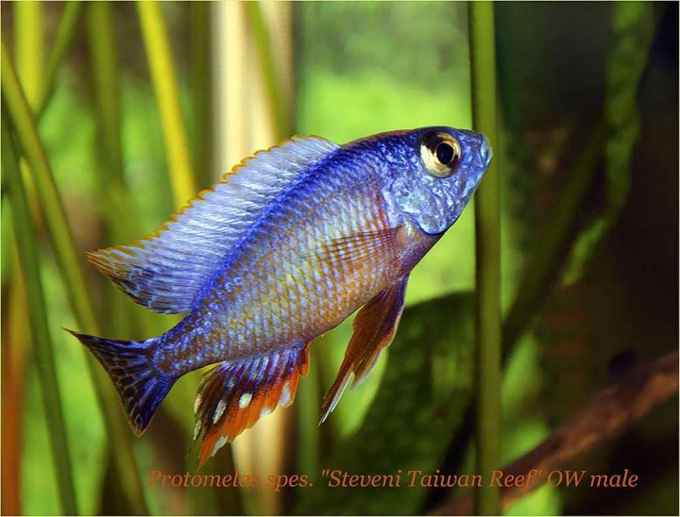 Protomelas sp Steveni Taiwan Reef OW male.jpg