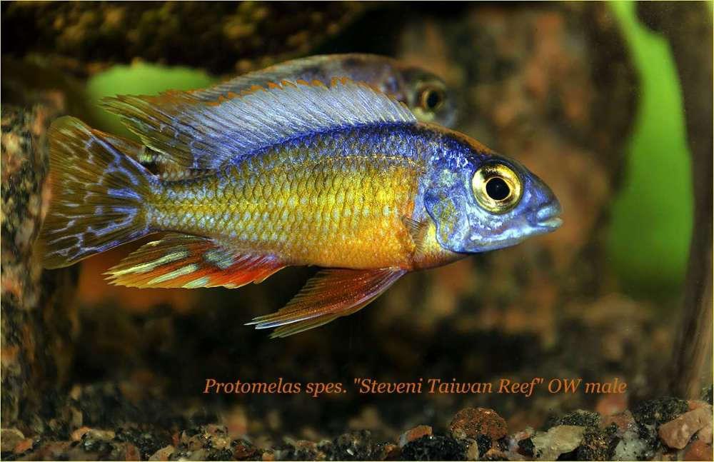Protomelas sp Steveni Taiwan Reef OW male 3.jpg