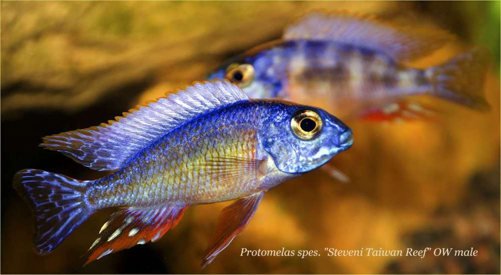 Protomelas sp Steveni Taiwan Reef OW male 4.jpg