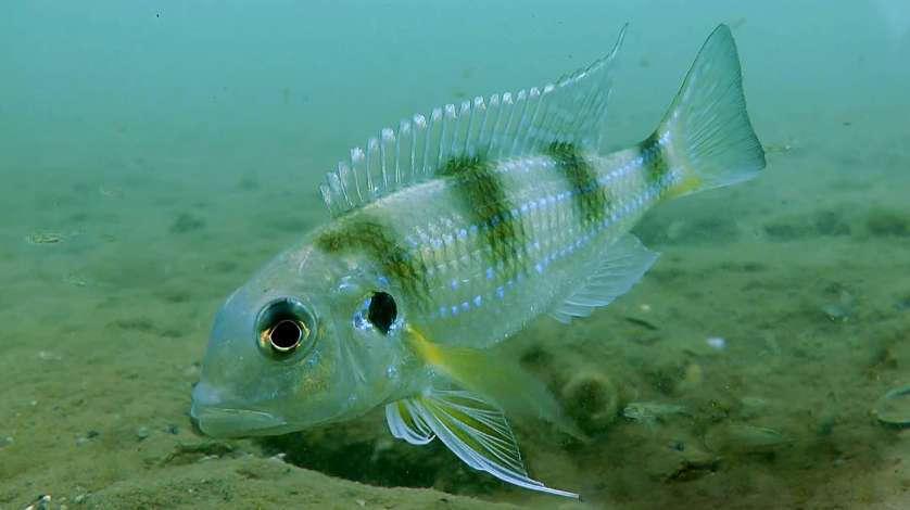 Limnochromis auritus (Boulenger, 1901)