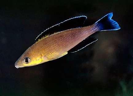 Cyprichromis sp. 'leptosoma jumbo' Kapembwa (Ad Konings) (1).jpg