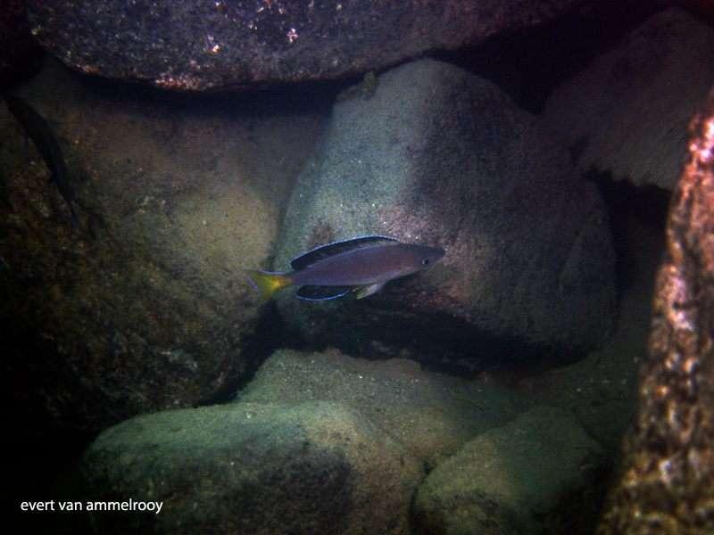 Cyprichromis sp. 'leptosoma jumbo' Kapembwa (varianta Kapembwa Isanga) (around 20m deep) (Evert van Ammelrooy).jpg