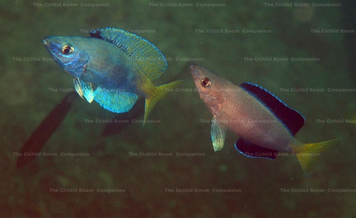 "Ctprichromis sp. ""jumbo Malasa"" район Konsombo (Танзания)"