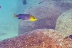 "Cyprichromis sp. ""leptosoma jumba"" (Malasa) из района Mvuna Isl."